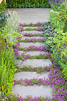 Thyme herbs in flower Thymus, in crevices and nooks and crannies of path stepping stones walkway with herbs and lettuce vegetables: rosemary Rosmarinus, Salvia officinalis, Lavandula lavender, dill, kale, patio