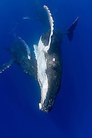 humpback whales, Megaptera novaeangliae, displaying courtship behavior - one female being aggressively pursued by two competing males as one blowing bubbles underwater, Hawaii, USA, Pacific Ocean