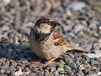 Male House Sparrow {Passer domesticus} Sitting in the Car Park at Elmley Marshes, Isle of Sheppy, Kent