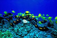 A small school of Yellowfin Goatfish ( Mulloides vanicolensis) swim over the Hawaiian coral reef. Hawaiian name is ( weke ula )
