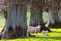 Sheep - ewe with lamb, Ovis aries, in Spring near Naunton in The Cotswolds, Gloucestershire, UK