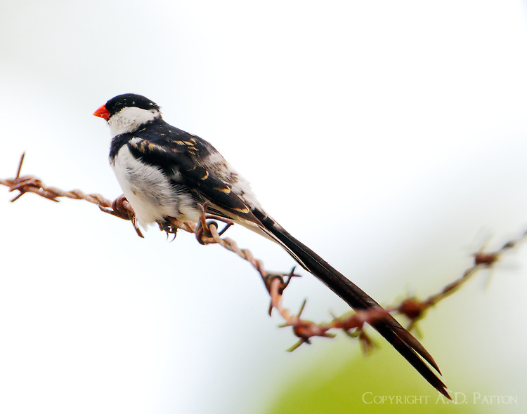 Adult male pin-tailed whydah in breeding plumage
