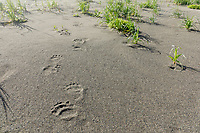 Grizzly bear paw prints in sand along the Lake Clark National Park coastline. Alaska.  Summer. <br /> <br /> Photo by Jeff Schultz/SchultzPhoto.com  (C) 2018  ALL RIGHTS RESERVED<br /> Amazing Views-- Into the wild photo tour 2018