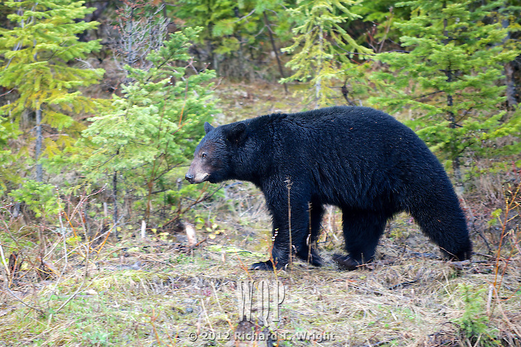 A black bear in spring in the mountains of British Columbia.