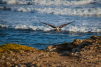 With wings spread wide, a Great blue heron comes in for a landing on the rocky shoreline at Pescadero State Beach, against a background of rolling Pacific waves.