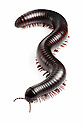 Tanzanian Giant Millipede {Archispirostreptus gigas}. Captive, originating from Africa. website
