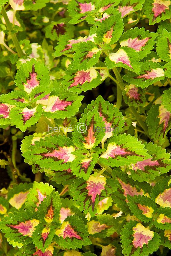 Coléus, cultivar (Solenostemon scutellarioides = Coleus blumei var.verschaffeltii) // Solenostemon scutellarioides, commonly known as Coleus, cultivar
