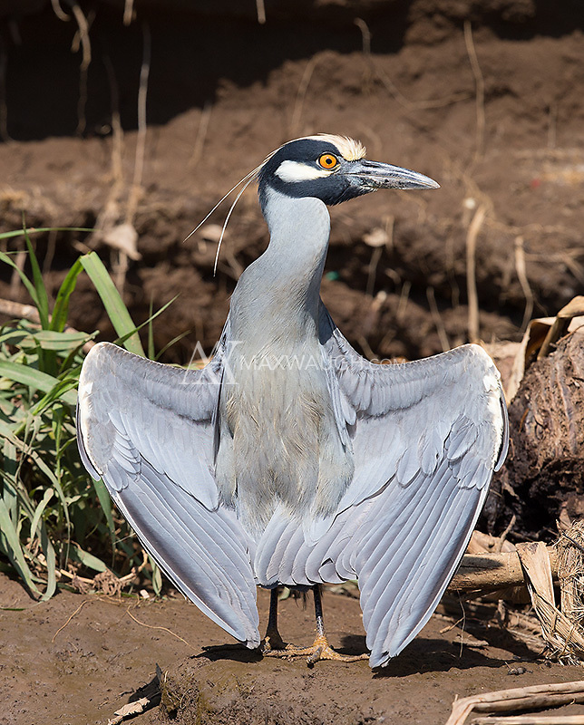 A Yellow-crowned night heron suns itself along the banks of the Rio Tarcoles.  Herons often use sunlight to kill parasites that live in their feathers.