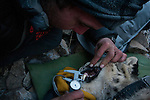 Snow Leopard (Panthera uncia) biologist, Shannon Kachel, measuring canine tooth of male during collaring, Sarychat-Ertash Strict Nature Reserve, Tien Shan Mountains, eastern Kyrgyzstan