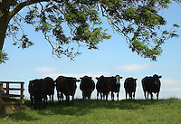 Aberdeen Angus steers under a tree. Beef. View.