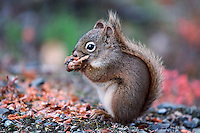 Red Squirrel, Pine Squirrel (Tamiasciurus hudsonicus), adult eating pine cone, Alaska, USA
