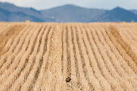A Long-Billed Curlew feeds in wheat stubble west of Three Forks on Friday.