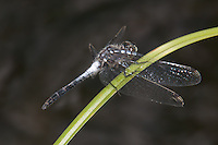 Frosted Whiteface (Leucorrhinia frigida) Dragonfly - Male, Harriman State Park, Stony Point, Rockland County, New York