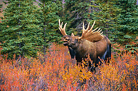 Bull moose scents for cow during mating season, Denali National Park, Alaska