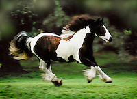 Gypsy Vanner Horse mare in motion.