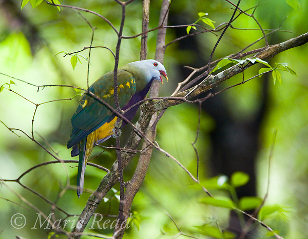Wompoo Fruit-Dove (Ptilinopus magnificus) calling, Daintree National Park, Queensland, Australia.