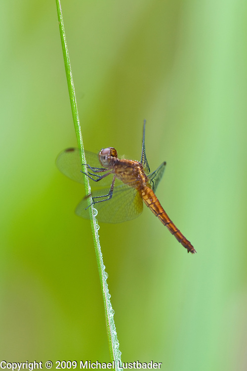 Rainforest Dragonfly (Odonata)