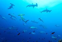 Sphyrna lewini, Bogenstirn Hammerhai, Schule von Haien, Scalloped hammerhead shark, Schooling Hammerheads, Insel Cocos, Costa Rica, Pazifik, Pazifischer Ozean, Cocos Island, Costa Rica, Pacific Ocean
