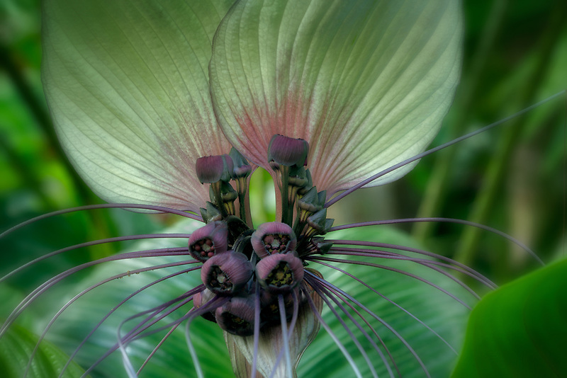 Close up of Bat Flower, Princeville Botanical Gardens. Kauia, Hawaii
