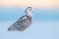 A juvenile Snowy Owl carefully scans the horizon for competing owls as the blowing snow occassionally obscures the owl.  (Onatario)