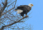 Eagles found at Tulelake, CA., Lower Klamath National Wildlife Refuge.