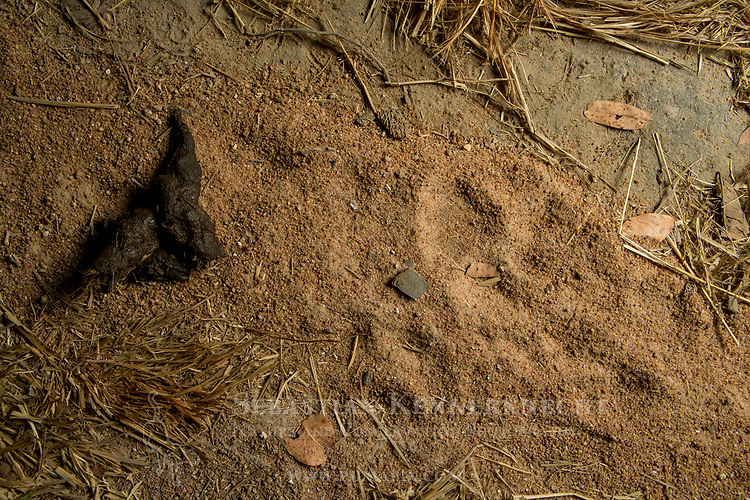 African Leopard (Panthera pardus) scat and male prints, Kafue National Park, Zambia