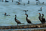 Group of Neotropic Cormorants (Phalacrocorax o. olivaceus) at the shore of Isla Pacheca. Las Perlas Archipelago, Panama Province, Panama, Central America.