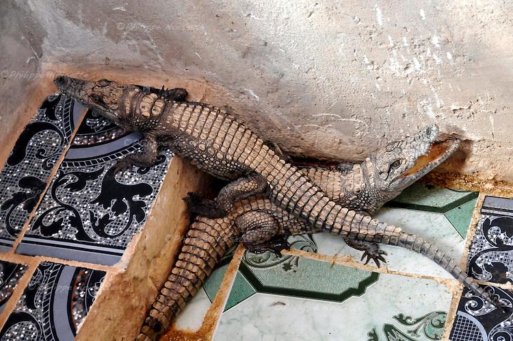 Crocodile dans une maison nubienne au bord du Nil aux environs d'Assouan et de l'île Elephantine en Egypte / Afrique / Crocodile in a Nubian house on Nile river embankment in Egypt