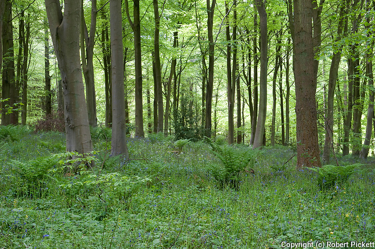 Bluebells in woodland, Hyacinthoides non-scriptus, Kent, UK, protected plant, Covert Wood, Elham Valley