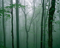 Foggy morning light along Skyline Drive; Shenandoah National Park, VA
