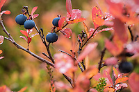 Detail of European blueberry bush in Autumn, Norway