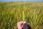 Wheat production, Netherlands