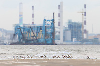 Kentish Plover (Charadrius alexandrinus) and industrial development on reclaimed land. Geum Estuary, South Korea. October.