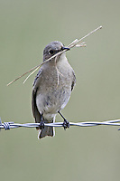 Female Mountain Bluebird with nest building material