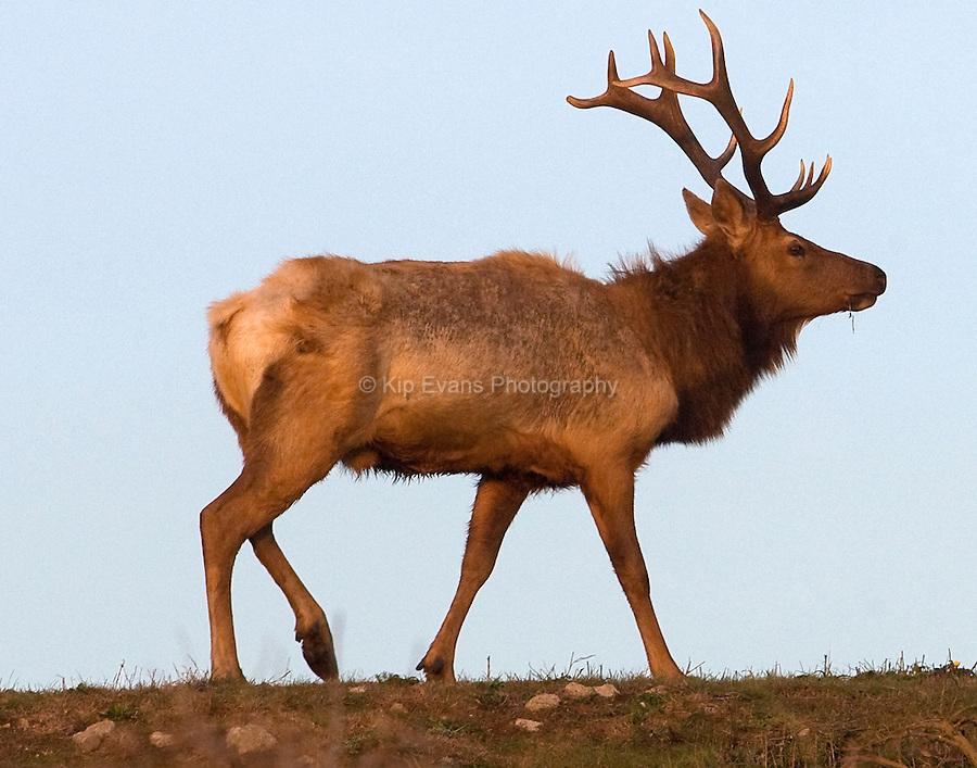 Tule Elk, Point Reyes California