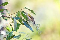 Rufous-Throated Honeyeater imm, Katherine River, NT, Australia
