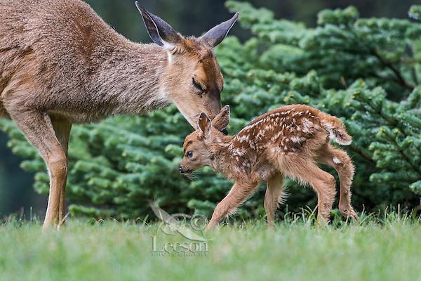 Columbian black-tailed deer (Odocoileus hemionus columbianus) doe greeting/nuzzling her young fawn. Pacific Northwest.  Summer.