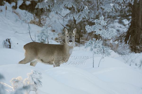 Roe Deer (Capreolus capreolus), adult in snow, St. Moritz, Switzerland, Europe