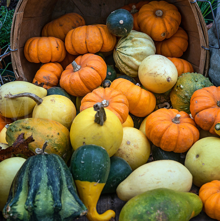 Autumn harvest display of pumpkins, squash and gourds.