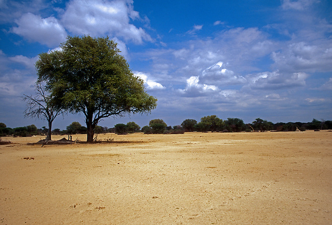 Leadwood Tree, Kalahari Sandveld, Hwange National Park, Matabeleland North Province, Zimbabwe, Africa