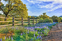 Love this bluebonnet landscape in late afternoon on the back road in the Texas Hill country.  We loved the bluebonnets growing along the dirt road in the hill country with this old cedar fence which gave the scene character of a typical texas landscape.  The day was nice and sky was blue with nice clouds and trees budding out letting us know that spring is here.  Of course getting here was not that easy we had to go through multiple low water crossing with water up to the door but well woth it.