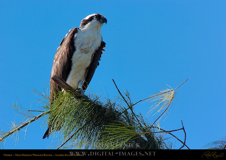 Osprey, Ding Darling Wildlife Refuge, Sanibel Island, Florida