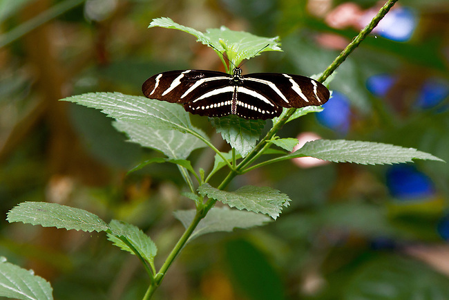 The state butterfly of Florida, a Zebra Longwing, is sits with its wings spread wide on a branch of a green leaved vine showing off its beautiful white zebra-stripes and decorative bands along the edge of the hind wing.