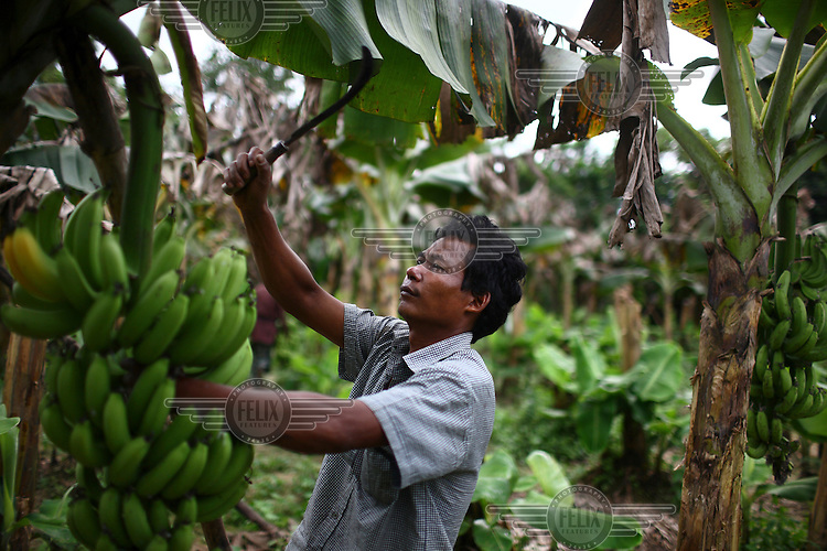 A Garo man cuts down a hand of bananas in a plantation. The Garo (or Mandi, as they refer to themselves) are an ethnic minority thought to be of Tibeto-Burmese origin. Prior to British rule they were mostly anamists but missionary work led the majority to convert to Christianity. The Garo of the Madhupur forest have long been under the threat of eviction by the government and the forest that they gain much of their livelihood from is being rapidly destroyed by unregulated logging.