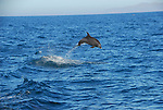 bottlenose dolphin in Gulf of California