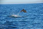 bottlenose dolphin in Gulf of California