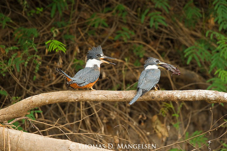 Two ringed kingfishers perch on a tree limb with a fish in the Pantanal, Mato Grosso, Brazil.