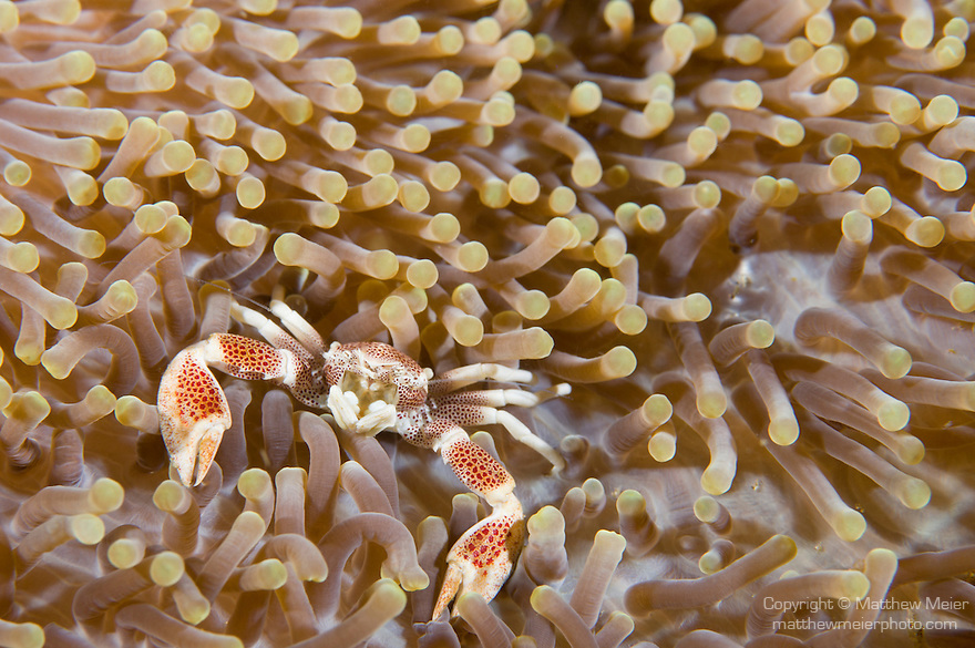 Anilao, Philippines; a Porcelain Anemone Crab (Neopetrolisthes maculata) in it's host Merten's Anemone
