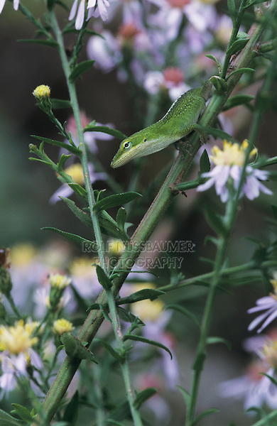 Green Anole, Anolis carolinensis, young on Aster, Palmetto State Park, Texas, USA, June 2005