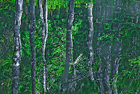 """BAFFLING BIRCH""<br />
